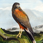 Harris_hawk2_copy_card