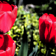 Tulip_trio_-_3_card