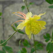 Yellowcolumbine_card
