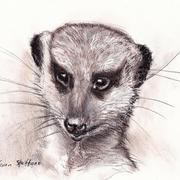 Meerkatfaces_card