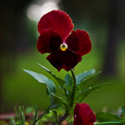 Early_morning_pansy_card