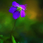 Woodland_geranium_card