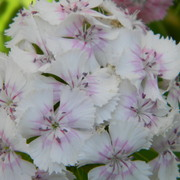 Whitedianthus_card