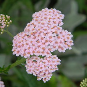 Yarrow_card