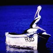 A160_copy_pelicans_on_boat_called_fred_2_card