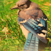 Bluejay_card