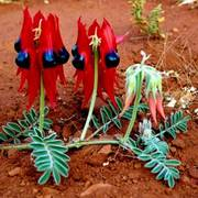 Sturt_pea_copy_4_card