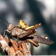 Mating_grasshoppers_card