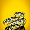 578470-2-jungle-python-morelia-spilota-cheynei_thumb