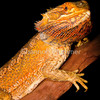 492680-3-central-bearded-dragon-pogona-vitticeps_thumb