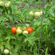 Mygardencherrytomatoes_card