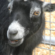 Pygmiegoat2_card