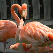 Flamingo2_card