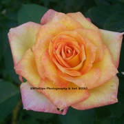 Cropped_rose_orange_card