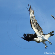 Flying_osprey_close_up_card