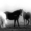 Horses_in_the_mist_thumb