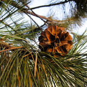 Pinecone_and_tree_card