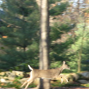 Img_7404_deer_jumping_card