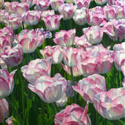Glowingtulips_card