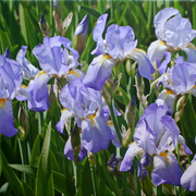 Glowingirises_card