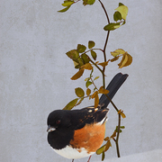 Rufous-sided_towhee_card