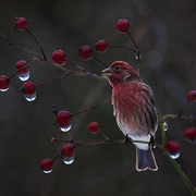 House_finch_card