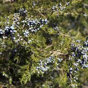 Juniper_berries-2_copy_card