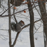 Beaverbrooksquirrel1_card