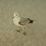 Baby_seagull_at_wrightsville_beach_card