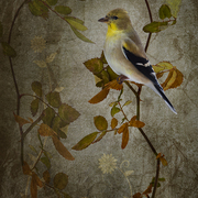 American_goldfinch_card
