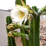 Cactus_flower_card