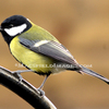 Bd0005_-_great_tit_thumb