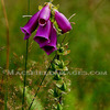 Fl0014_-_foxglove_thumb
