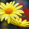 Fl00132_-_agryanthemum_cornish_gold_thumb