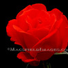 Fl00162_-_red_rose_thumb