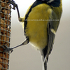 Bd00011_-_great_tit_with_nut_in_beak_on_feeder_thumb