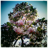 Magnolia_display_thumb