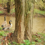 Geese_by_the_creek_in_neshanic_card