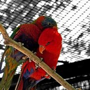 Rainbow_lorikeet_by_ikuzimil_card