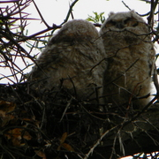 Cambridgeowlets1_card