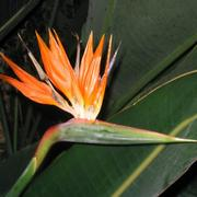 Birdofparadise_card