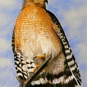 Red-shouldered-hawk_card