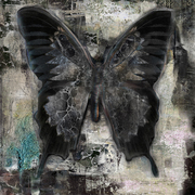 Black_butterfly_card
