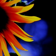 20080824a1_1992sunflower_edited_fav_card