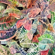 Croton_plant_painting_small_card