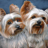 Yorkies_1_thumb