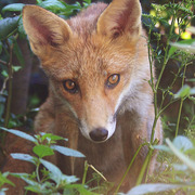 Watchful_fox_card