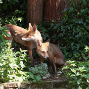 Foxes_3-7-11_card
