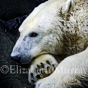 Polar_bear_ii_copy_card