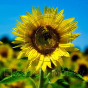 Sunflower_1_copy_card